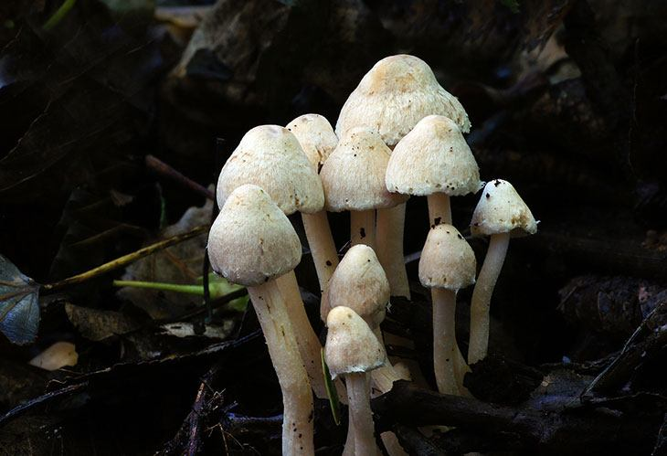 when to harvest oyster mushrooms