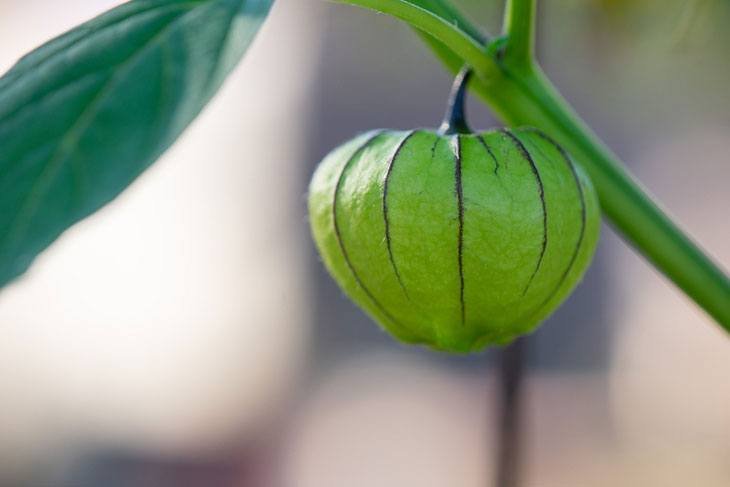 how to tell when tomatillos are ready to be picked