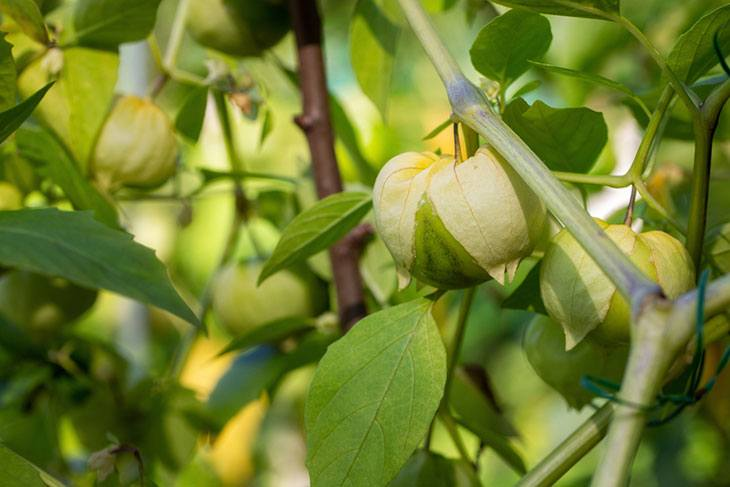 how can you tell if tomatillos are ripe