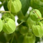 when are tomatillos ready to pick