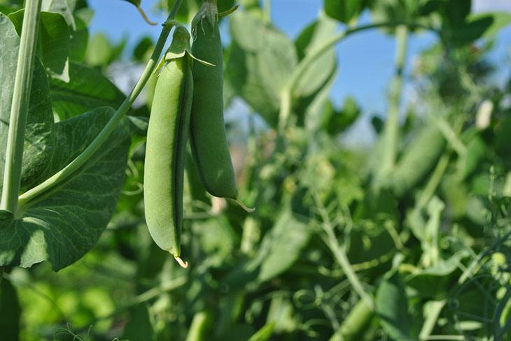 when and how to harvest snap peas