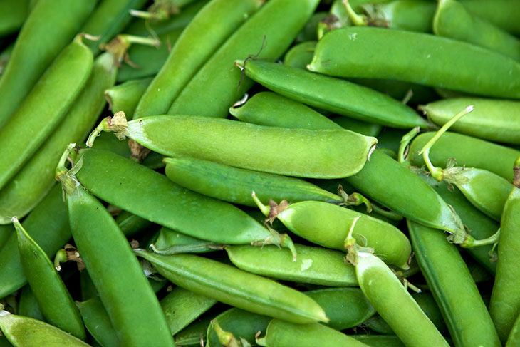 when to harvest sugar snap peas